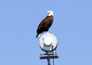 Bald Eagle near Fernandina Beach Florida